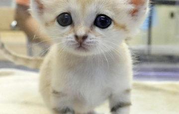 スナネコの赤ちゃんアミーラ妹の名前は?かわいいユーチューブ動画も紹介